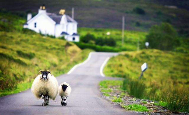 mom-and-baby-sheep-meandering-down-a-scottish-road-wp